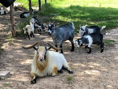 Goats in the Ranch